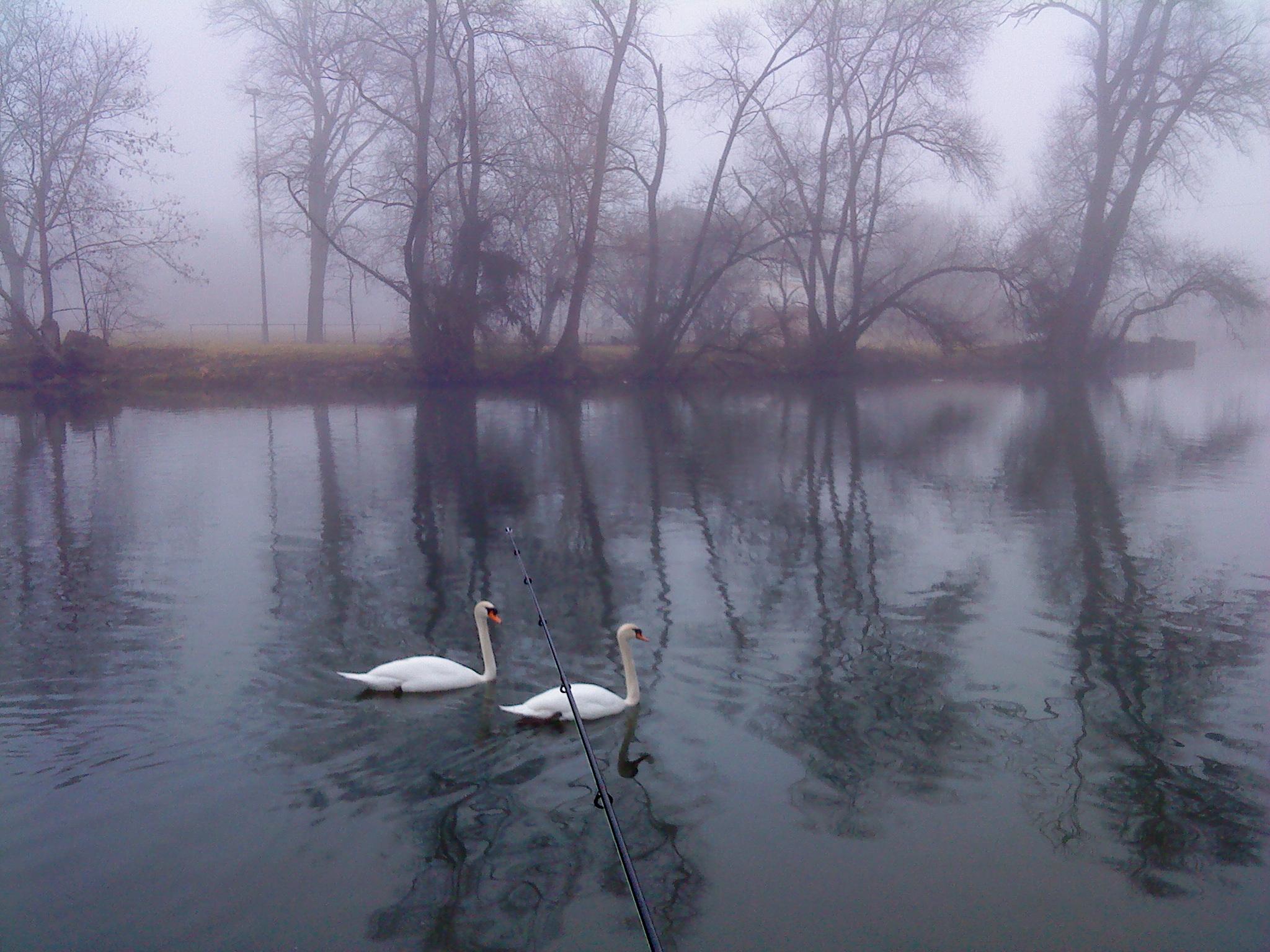 Schwäne im Nebel